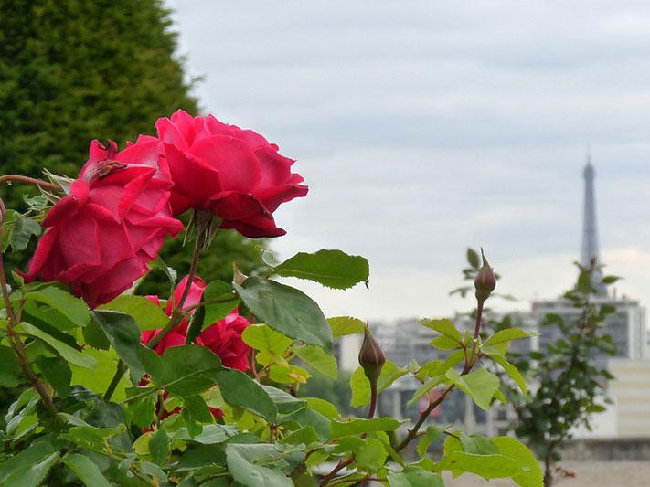 rose-et-tour-eiffel
